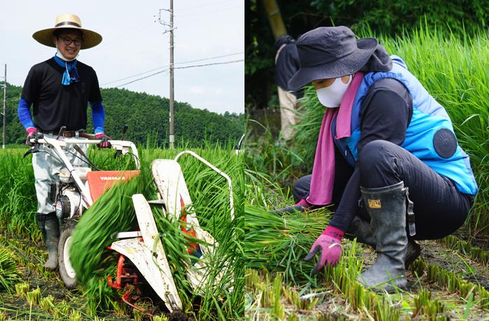 若いしめ縄職人の育成:青刈り